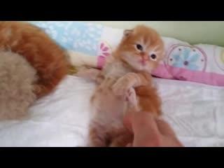 Пополнение . Чистокровные шотландские котята.