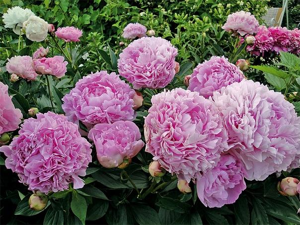7 шагов к цветущему долголетию пионов