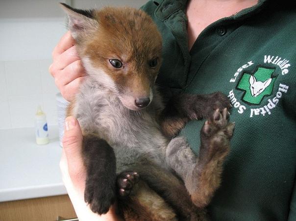 Когда нашел грязненького измученного щенка, а это оказалась лисичка