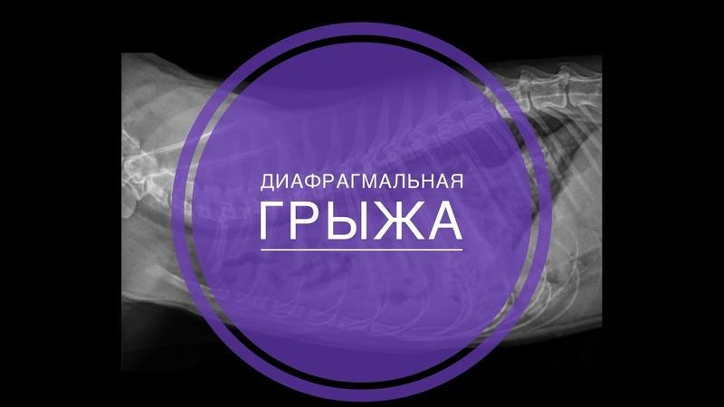 Хирургическое лечение диафрагмальной грыжи у кошки