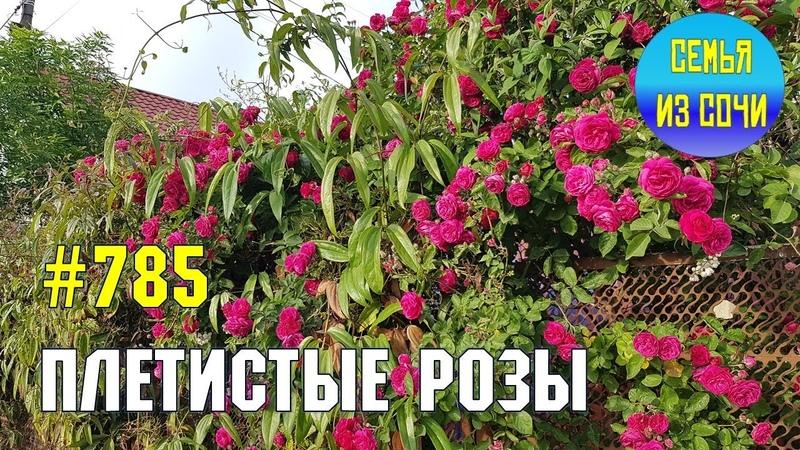 Плетистые розы Жизнь на Юге