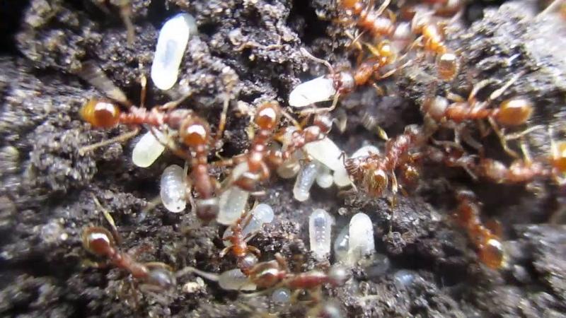 Красные муравьи.3-е июля 2017 года.