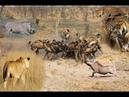 Chuyện gì Xảy Ra Cuộc Gặp Gỡ Kịch Tính Nhất Động Vật : Hổ ,Sư tử , báo dốm vs lợn rừng Tại cái Hố