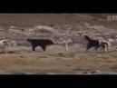 Волк против 5 собак