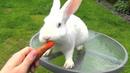 New Zealand White Bunny Rabbit Eating Carrot