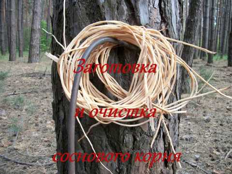 Заготовка и очистка соснового корня