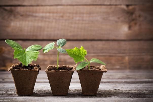 Огурцы: рассадой или сразу в грунт