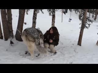 Огромный ручной Волк