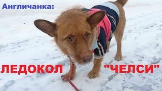 """LIVE*СПб: Наш ледокол """"Челси"""": новые всплывшие факты о собаке, привезенной из приюта в Абхазии"""