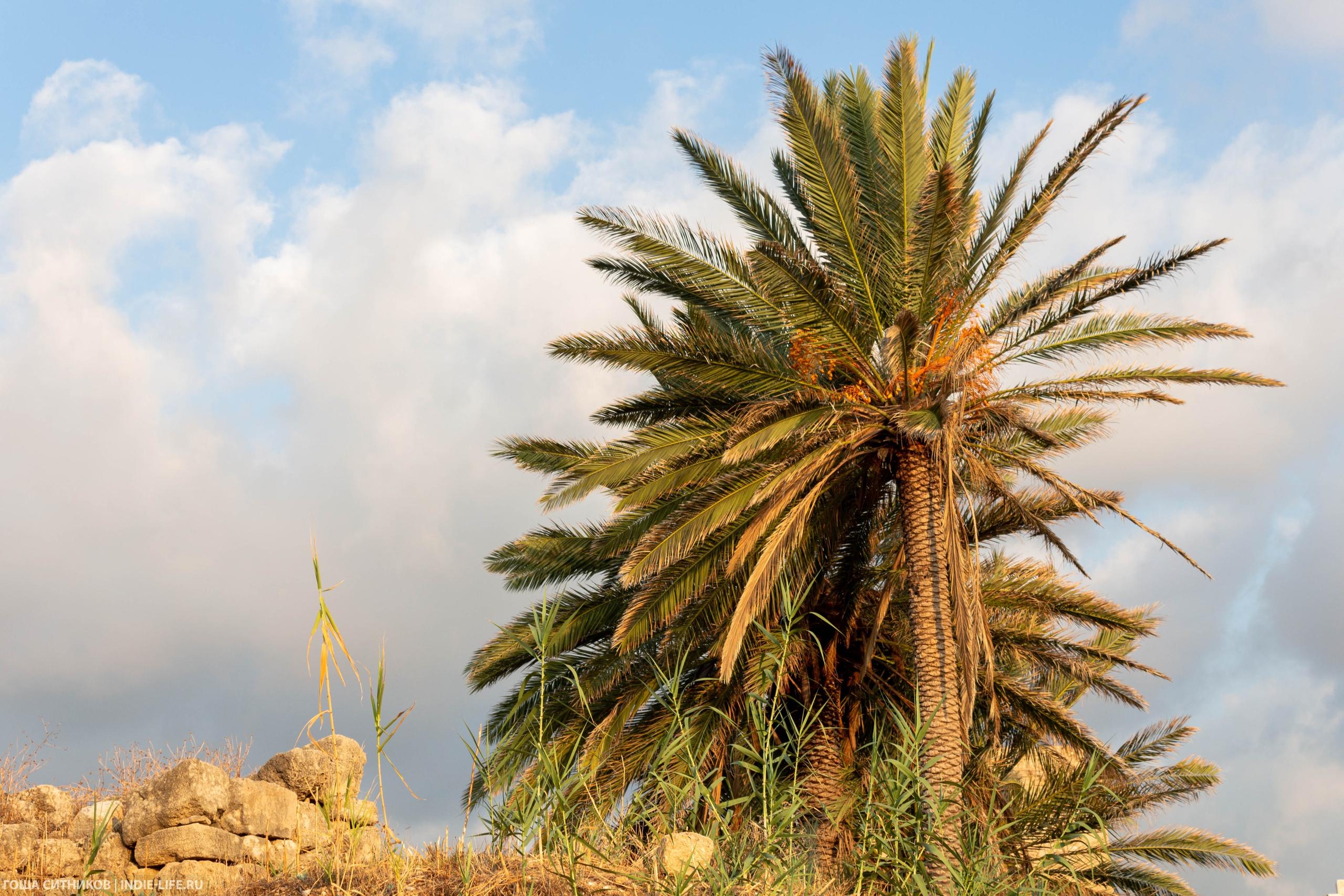 Ливан. Пальма