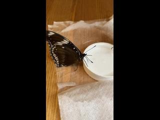 Видео от Живые бабочки Чайковский