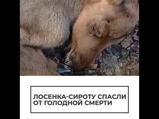 Лосенка-сироту спасли от голодной смерти