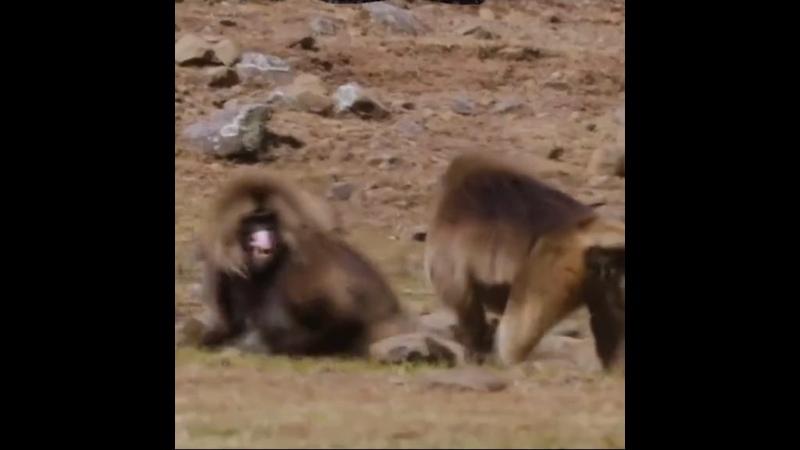 Самцы обезьян борятся