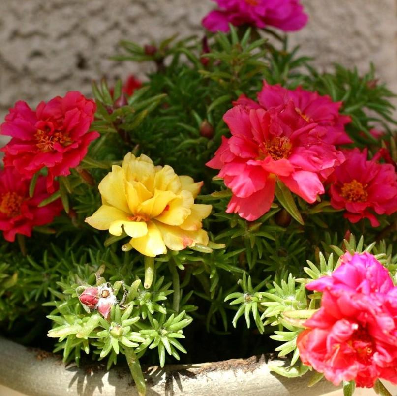 Портулак Декоративный – роскошный цветущий ковер для вашего сада и клумб, изображение №3