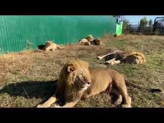 Лев Гек после удаления зубов продолжает оставаться боевым львом ! КАК