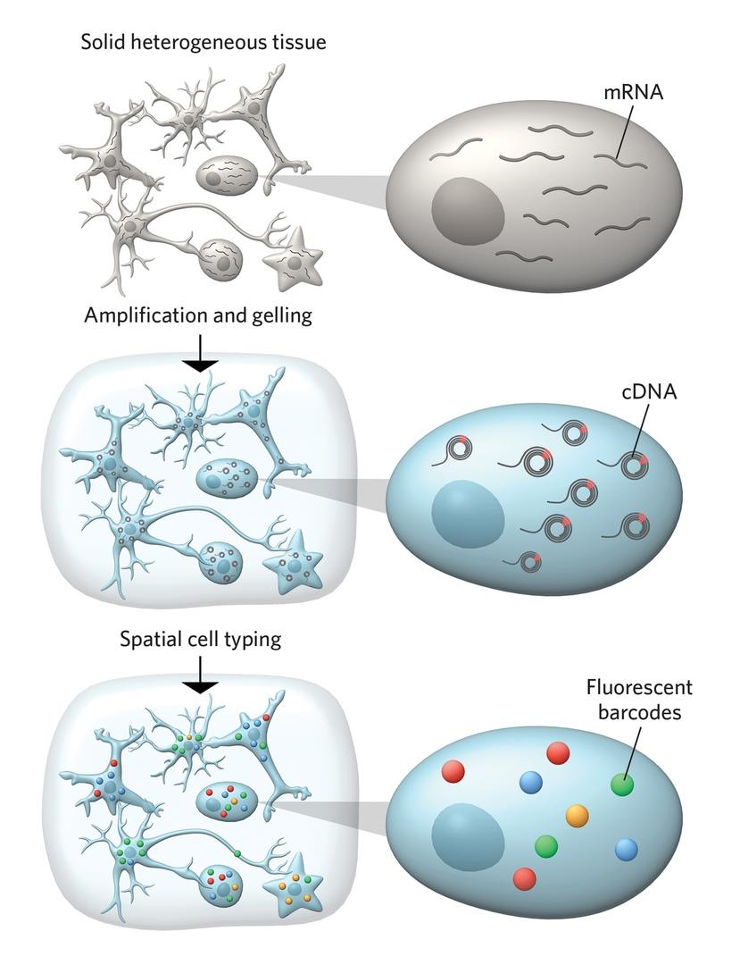 Metodica di visualizzazione dell'espressione genica nelle singole cellule nei tessuti.