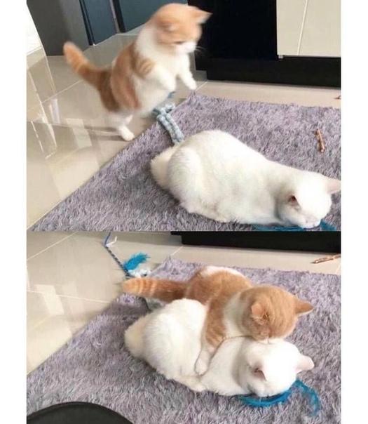 """Twitter-аккаунт """"Почему вам нужно завести кошку"""" (Why you should have a cat). Идеальный аккаунт для того, чтобы показать вашим родителям, почему вы хотите кошку."""