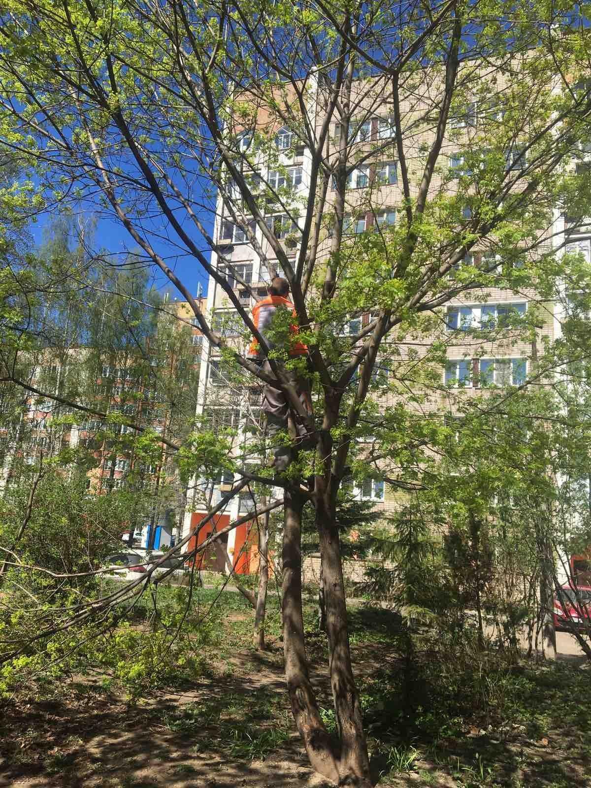 Спил дерева по заявке(задевает провода электроэнергии) Карла