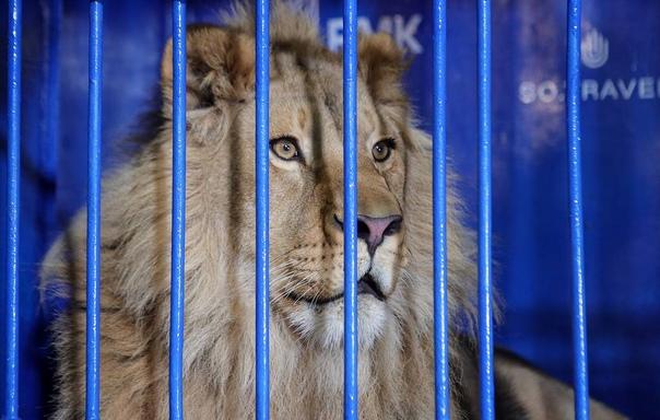 Вылеченного в Челябинске львенка Симбу отправили в...