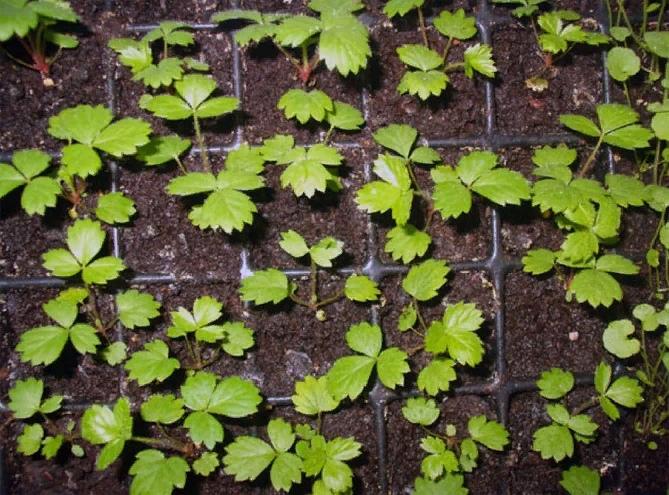 Выращивание ремонтантной клубники, изображение №8