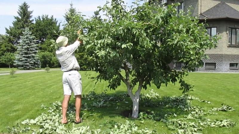 Летняя обрезка яблони Белый Налив