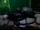Секс черепах в Ленинградском зоопарке