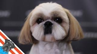 Shih tzu haircuts - How to make a round head