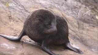 Морские котики,битва за выживание.Документальный фильм Nat Geo Wild HD. Fur Seals Battle for Suvival
