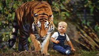 ТИГРИЦА нашла в лесу 3-х летнего мальчика и потащила к себе в логово