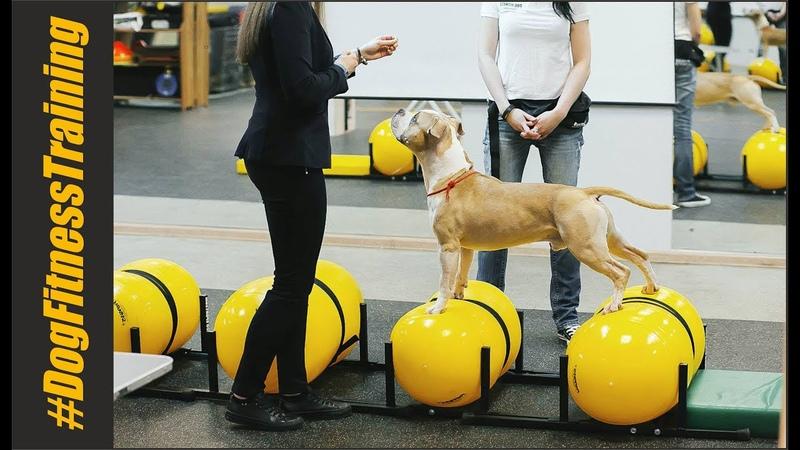 стаффордширский терьер Обучение по программе курса Физический тренинг собак в СпортШоуКлубе DogFitnessTraining