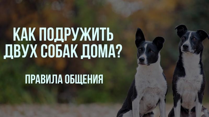 Вторая собака в доме Как избежать конфликтов и ревности Правила общения двух и более собак