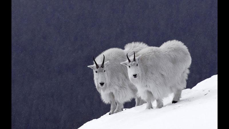 Заповедная Аляска / 4 серия - Путешествие к снежным козам