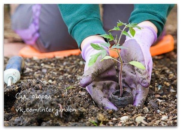 Для тех,кто сажает помидоры в грунт  Для обильного плодоношения...