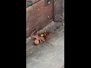 Пацан из Австралии стал свидетелем эпичной драки паука с шершнем