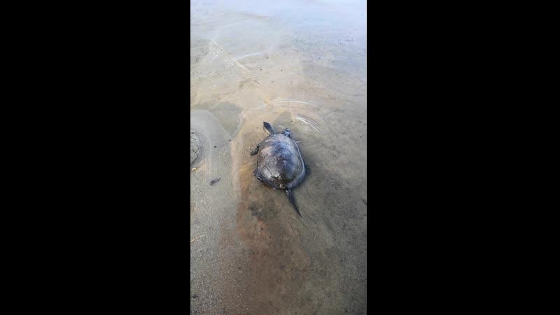 Болотная черепаха на волю 1